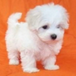 Very+Sweet+Charming+Maltese+Puppies%2C+Los+Angeles%2C+California image