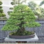 bonsai-plants image